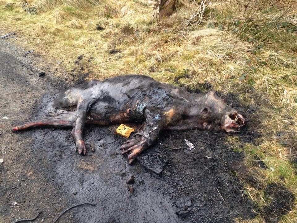 The  remains of a cow lie charred close to Carrickatuke Viewpoint