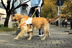 Dog helping blin person to walk
