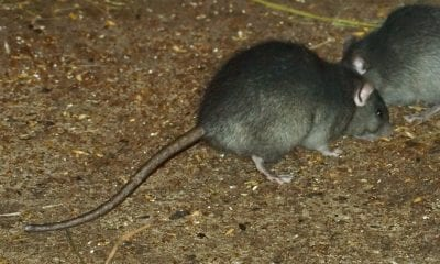 A rat infestation is a real problem in parts of Newry