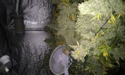 Windsor Bungalows cannabis factory