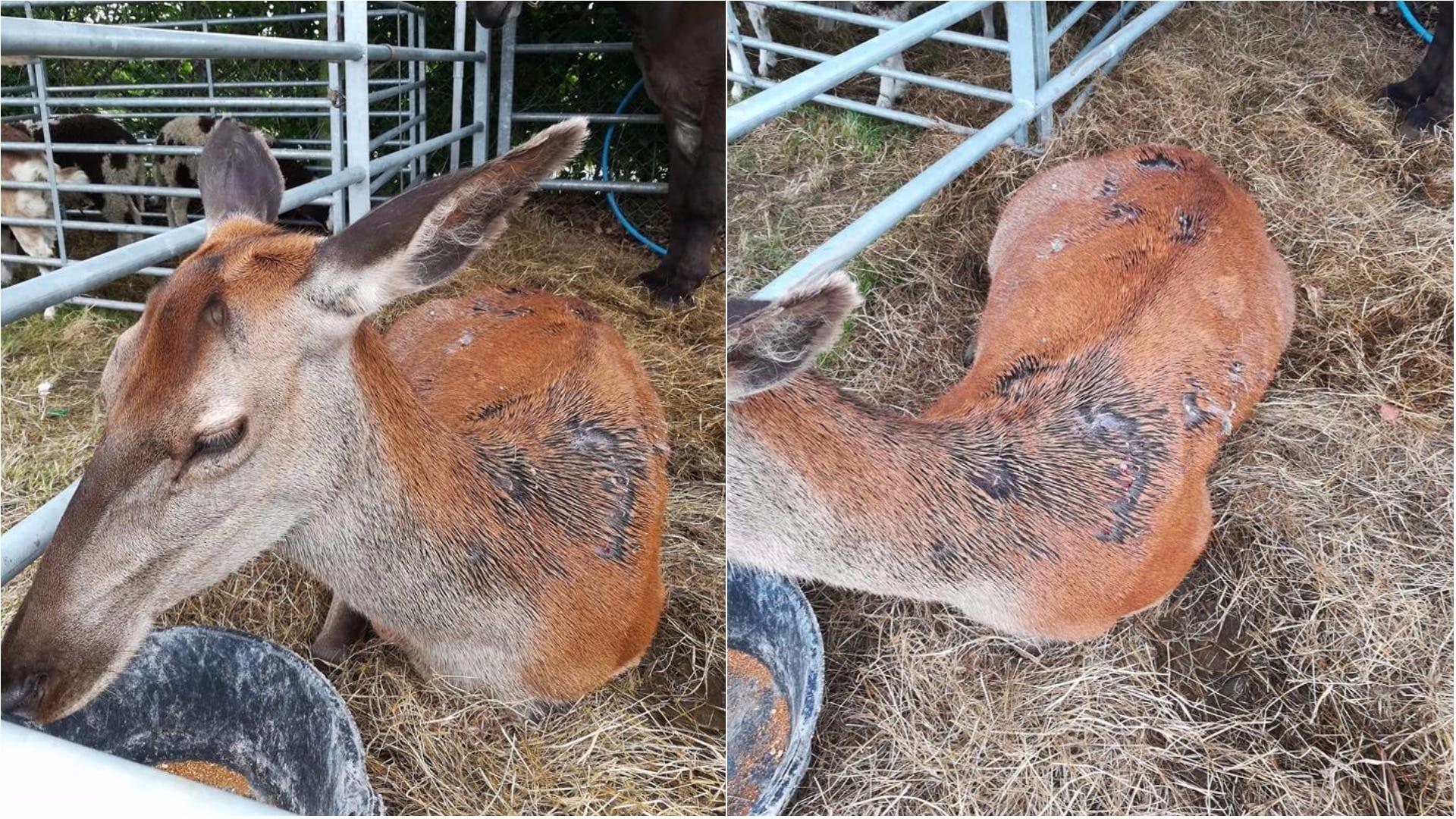 Deer slashed in Scarva