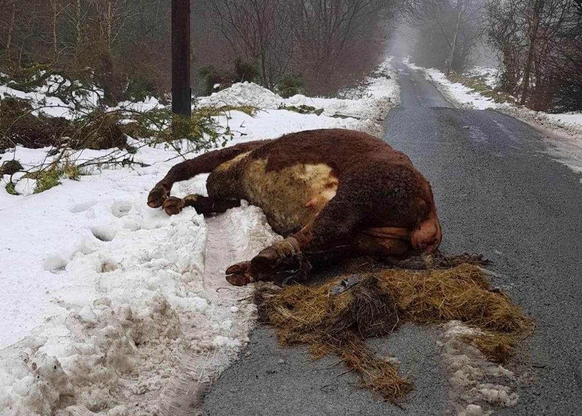 Calf carcass Mountain Lodge Darkley