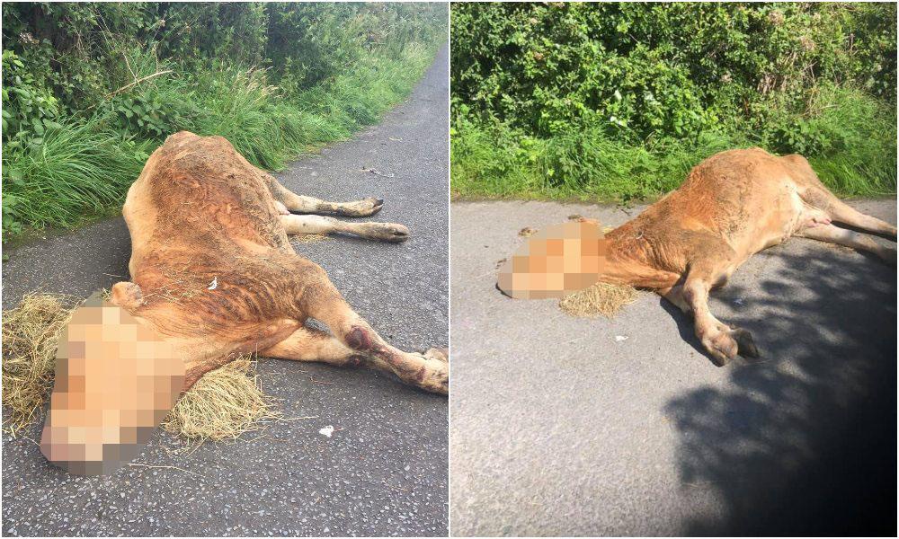 Dumped cow